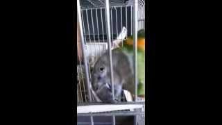 Сенегальский попугай говорит