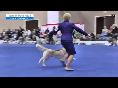 The National Dog Show - Siberian Husky