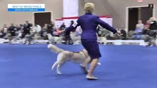 The National Dog Show  Siberian Husky