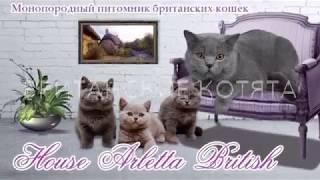 Британские котята, возраст 2 месяца