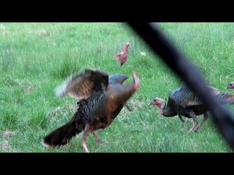 Magnus Bullhead Turkey Decapitation 2015