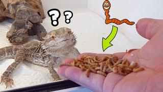 파충류 사육 2년차가 먹이주는장면 , 밀웜 터지는 AS…