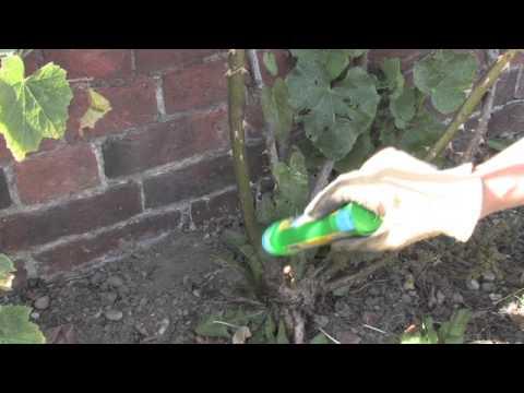 Bindweed and Sow Thistles | Video | Roundup Weedkiller