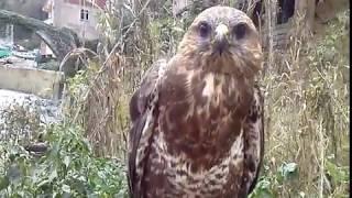 Şahin Yırtıcı Kuş