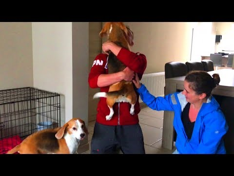 Dogs go CRAZY when they see their owners again after 2 weeks!