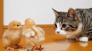 Daily life of kittens and tiny chicks