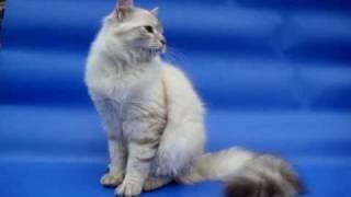 Невский маскарадный котенок серебряного окраса