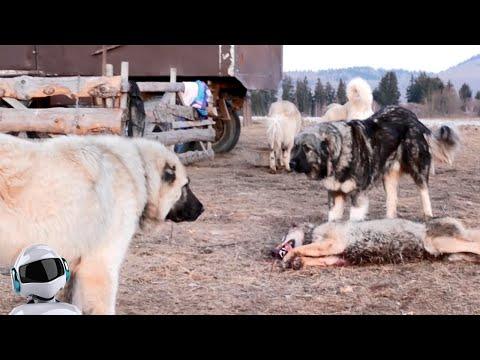 Волкодавы в Деле / На что Способны Собаки против Волка