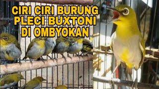 Ciri Ciri Burung Pleci Buxtoni Di Ombyokan