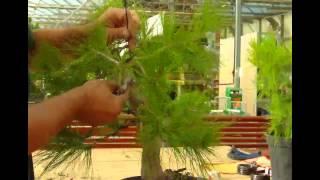 """Guías Mistral Bonsai - Alambrado Prebonsái """"Pinus"""""""