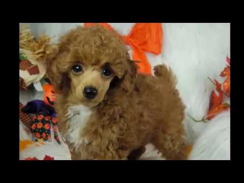 cute red poodle puppy Paprika