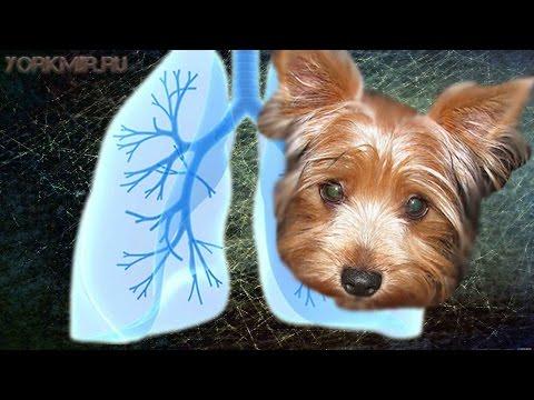 Инфекционный гепатит у собак: схема лечения и диагностика