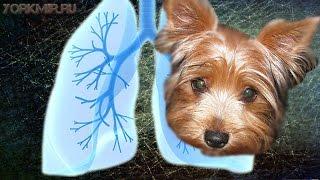 Пневмония у собак | Симптомы | Лечение | Диагностика.