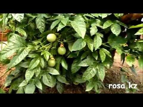 Вырастить в домашних условиях маракуйю и наслаждаться вкусом тропических плодов? Да не вопрос 😉 !!!