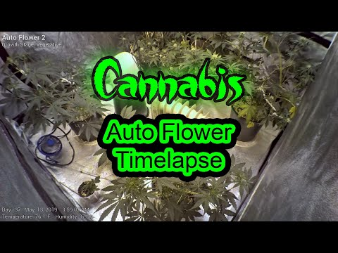 Auto Flower 2 – Full Grow – Cannabis Time Lapse