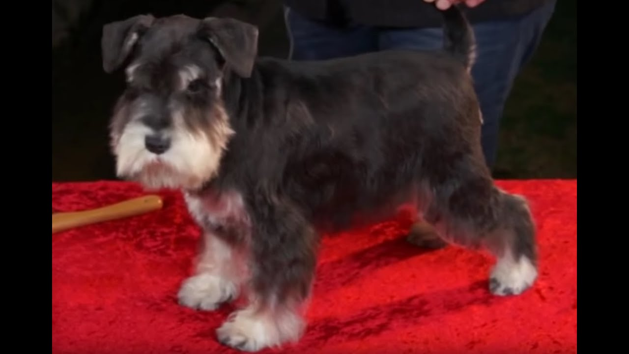 Dogs How To Comb The Hair Of A Schnauzer Dog Professional Hairdressing Tips