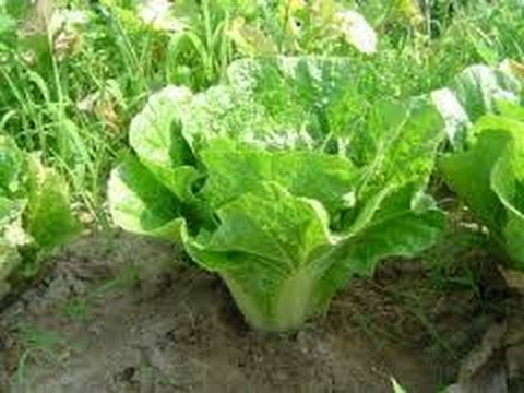 Asian cabbage seeds
