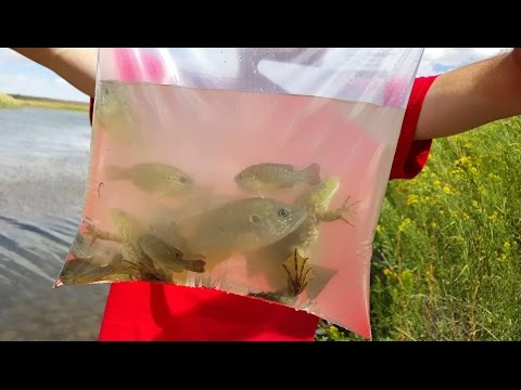 4K cc. Bull Frog Cat Fish Rescue & Blue Gill. Herping, Fishing & Nature  USA AZ CA NV TX UT CO HD.
