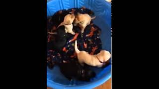 Lab Puppies Playing!