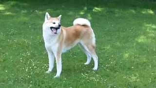 Japaneze Akita Mi Mi at A & B Dogs Boarding & Training Kennels.
