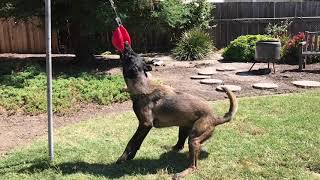 DIY Belgian Malinois tether ball tug, Jolly Ball big dog tetherball