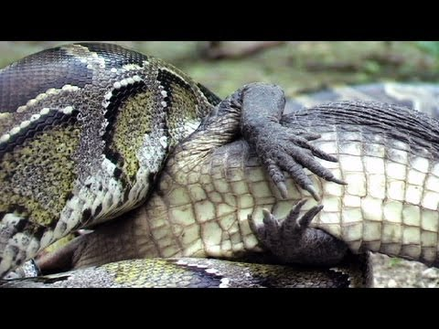 Python eats Alligator 03 - Time Lapse - Reverse