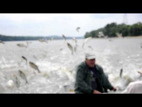 Flying Carp - Illinois River Aug 20, 2011