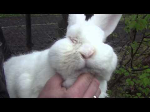 Видео: Конюктивит и ринит у кролика как результат от использования некачественной вакцины от миксоматоза