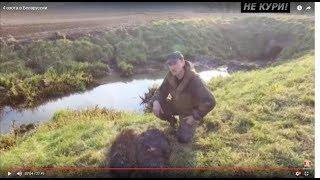 Охота на бобра с ягдтерьером
