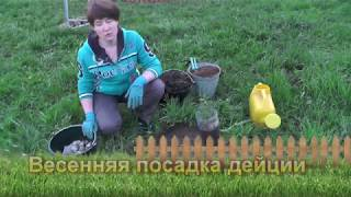 видео Дейция гибридная Strawberry Fields