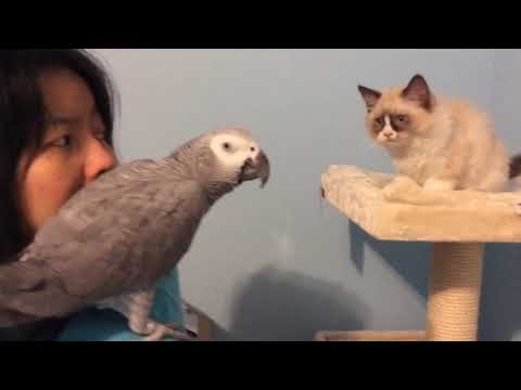 Parrot and Ragdoll Cat Kitten