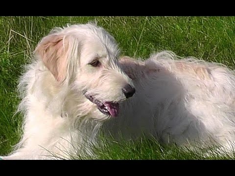 Cute Dog Videos Youtube With Goldendoodle Ally B Compilation No 42
