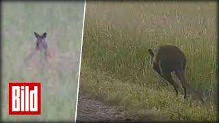 Känguru auf Straße - Flucht durchs Saarland