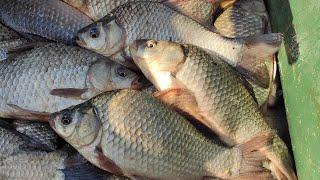 ЖОР ОТБОРНОГО КАРАСЯ - поклевки дуплетами на две удочки, рыбалка летом на реке