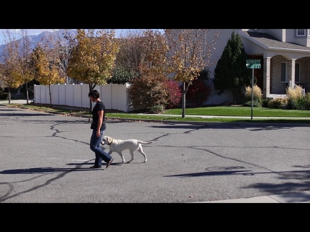 Transform Your Dog in 60 Days- Jax the Labrador- Utah Dog Trainers