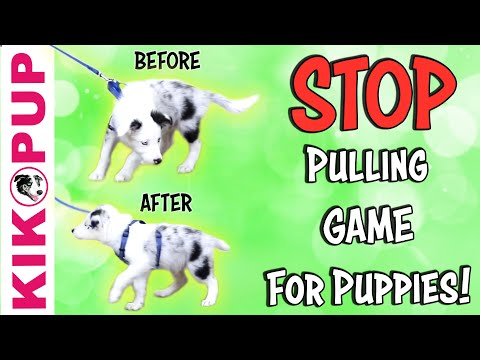 The Leash Pressure Game FOR PUPPIES!  to STOP PULLING on leash