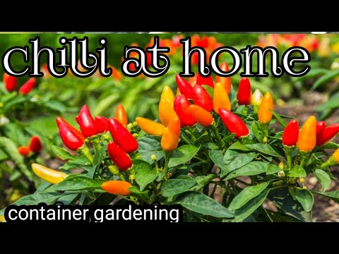chili plant growing |chilli plant at home |chilli plant care| chilli plant time lapse | chilli plant