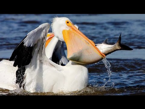 Conservation Connection: American White Pelicans Migrating Through Missouri