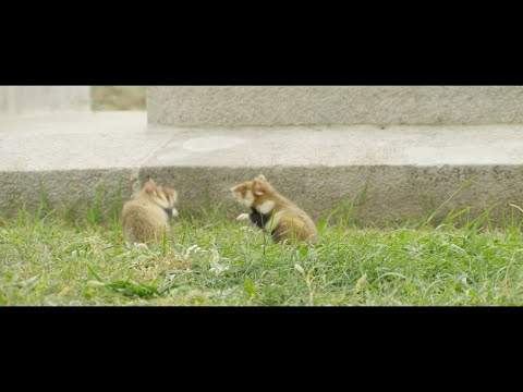Two Black-bellied Hamsters (Cricetus Cricetus) Fighting, Vienna, Austria, October.