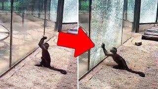 Monos en un Zoológico Saben Afilar Piedras para Romper Vidrios y Escapar