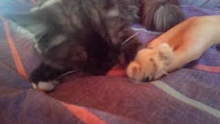 Кошка сосет палец | The cat sucks a finger