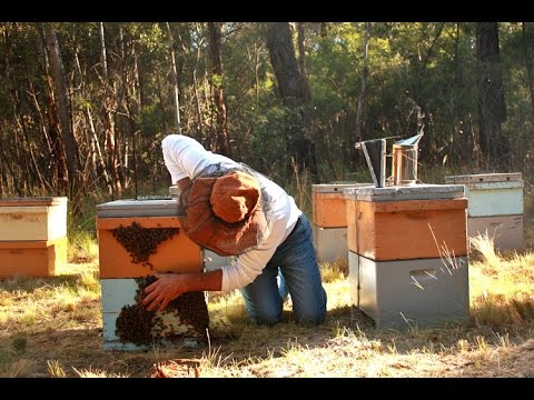 Why Are There Massive Bee Deaths In Australia