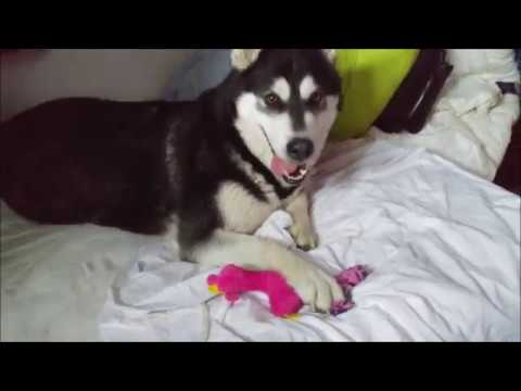 Alaskan Malamute playing with her Pinky toy (2/3)