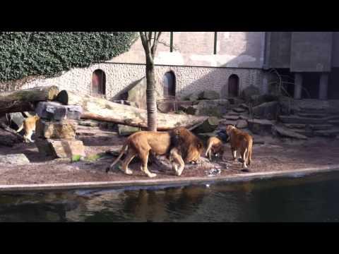 Leeuwen pakken reiger in Artis.