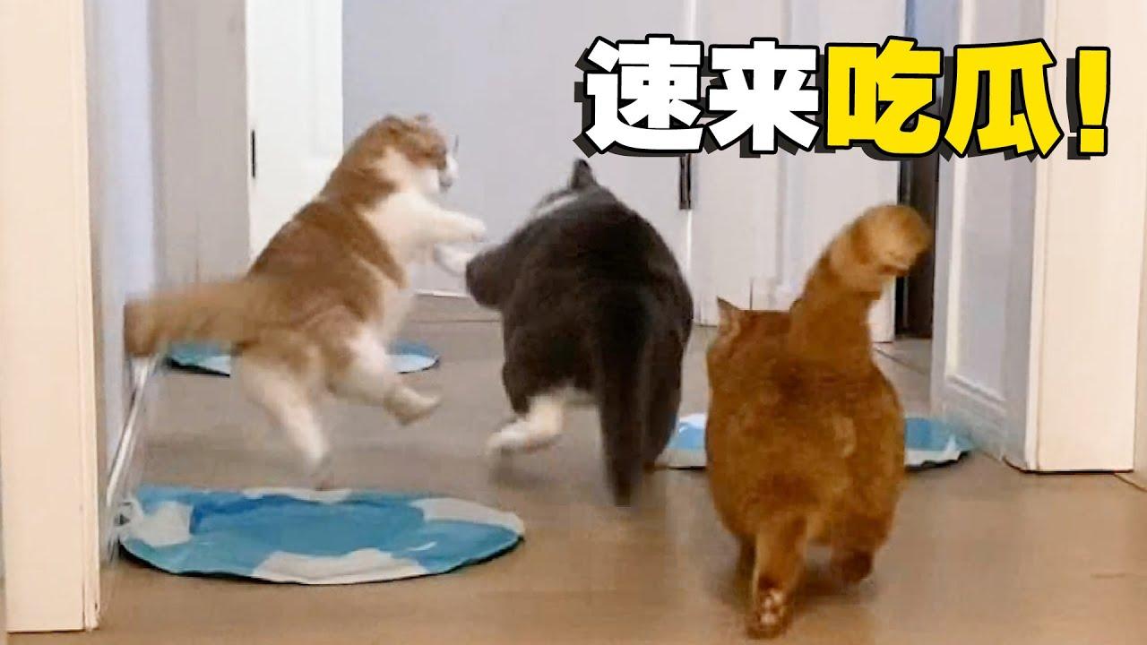 【喵来啦】突发事件!五只猫咪打成一团,场面太刺激了!