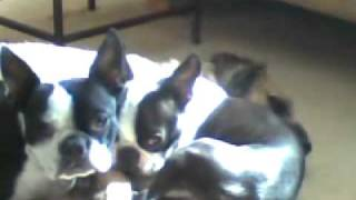 Boston Terriers Smother Border Terrier