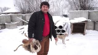 Эксперимент со шкурой или азиат против волка!