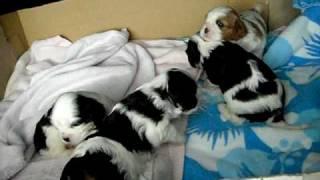 Cavalier King Charles Spaniel Puppies 3 Weeks Old