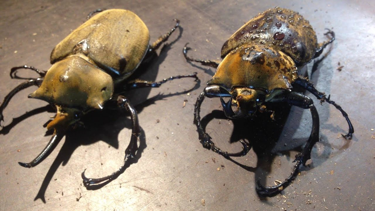 Elephant beetle videos, photos and facts - Megasoma elephas   ARKive
