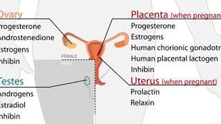 Progestérone